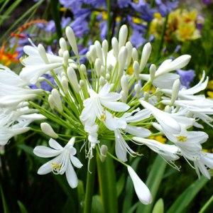 Agapanthus-umbellatus-white