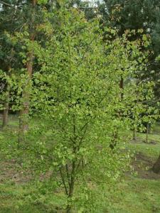 cercidiphyllum japonicum boyd's dwarf