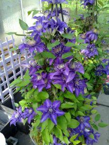 clementis multi blue