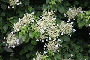 hydrangea periolaris
