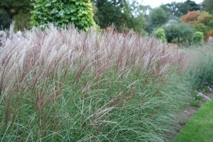 miscanthus sinensis chinese silver