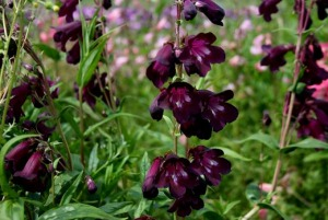 Penstemon_Raven