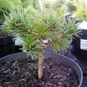 Pinus Parv. Hobbit Conifer