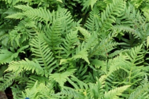 polypodium-vulgare-outdoor-good-size