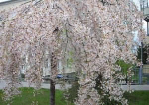 prunus-incisa-pendula weeping cherry