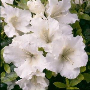 rhododendron gumpo white