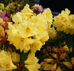 RhododendronGoldenWedding2