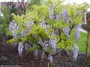 wisteria floribunda domino